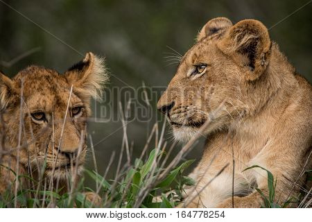 Two Lion Cubs Resting In The Grass.