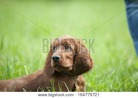 Little Irish Setter puppy with his warmly look waiting for next command or reaction of his owner
