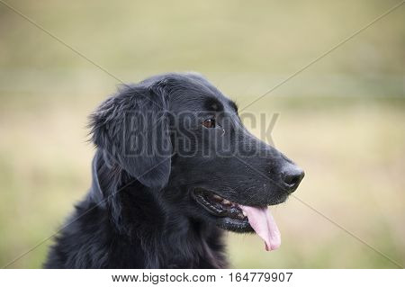 Head of black flat-coated retriever from a profile. Dog has nice brown almond eyes, black nose, trimmed ears and he is showing his tongue. Very nice head and expression. He is looking attentively