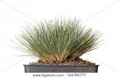 Low point of view of grass bundle tussock planted in pot isolated on white background