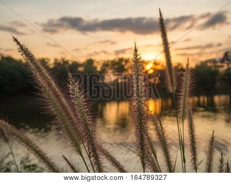 Closeup Feather Pennisetum Mission grass along the marsh at sunset