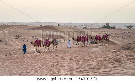 Dubai, UAE - June 1, 2013: Caravan with Camels in the Arabian Desert
