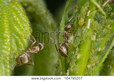 The symbiosis of ants and aphids. Two ants grazing his herd
