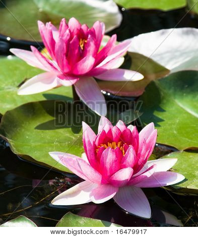 beautiful pink water lily (lotus)