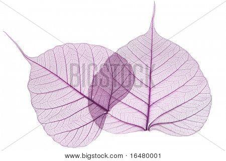 hojas púrpuras, aislados sobre fondo blanco