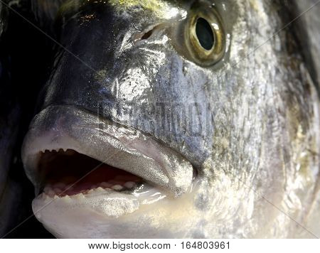Fish Bream With Mouth Wide Open And The Eye