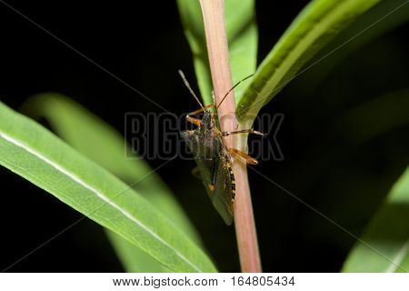 Red-legged Shieldbug, known also as Forest Bug, Pentatoma ruffles on branch with green leaves