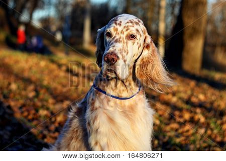 Beautiful purebred white spotty dog of hunting breed portrait with long hair and ears and brown spots face, english setter