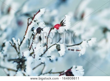 the red berries of the wild rose, covered with white crystals of cold frost