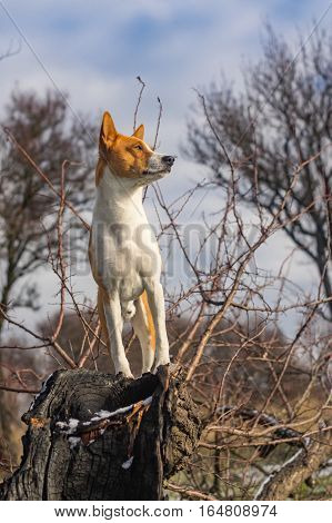 Basenji dog - troop leader on the tree branch looking into its acres
