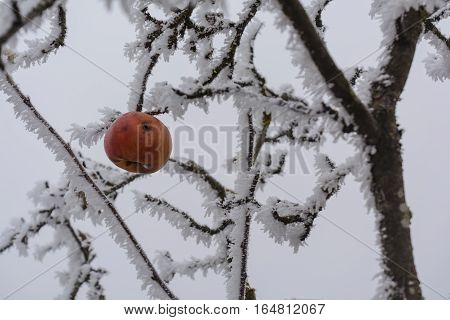 Worm-picked apple hangs in the apple tree during hoarfrost in winter