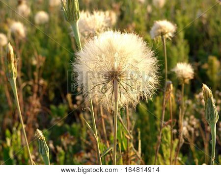 Dandelion flowers at sunset. Hot Summer. Steppe