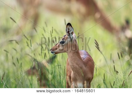 Side Profile Of A Baby Impala.