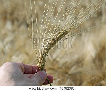 Hand Of Farmer Holding The Yellow Ear