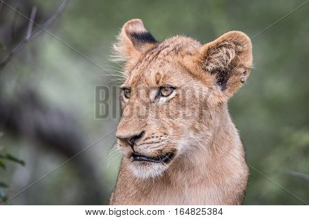 Side Profile Of A Lion Cub.