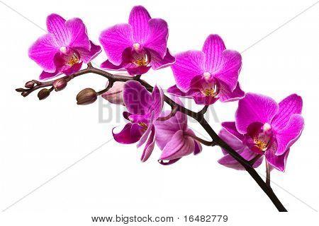 Orquídea aislado sobre fondo blanco