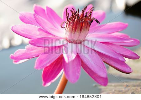 Beautiful pink lotus flower in pond, Nature background