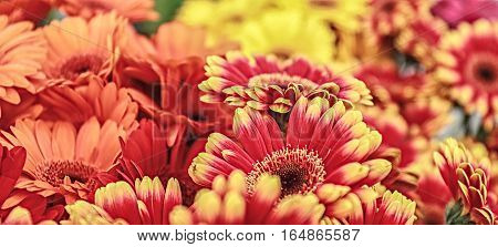 Beautiful chrysanthemum as background picture, closeup view.