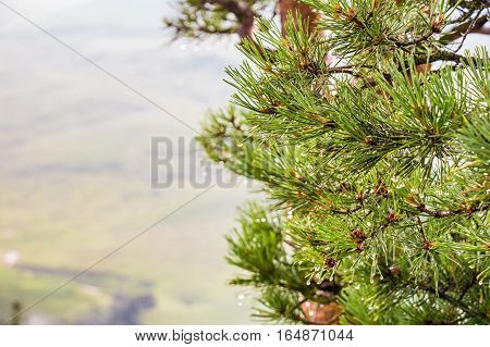 Close-up of branches of pines on scenic mountain background