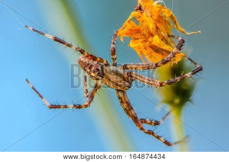 The male spider Araneus widely spread your legs