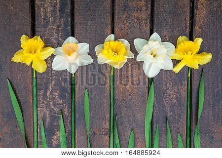 Daffodil on dark wooden background. Yellow and white narcissus. Greeting card.