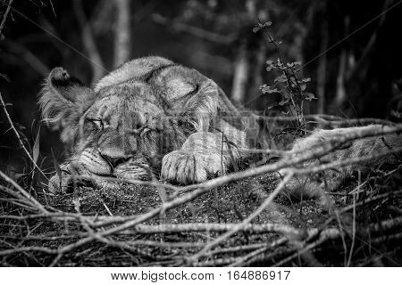 Lion Cub Sleeping In The Grass.