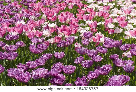 Flower bed with many ulips of pink and violet colours.