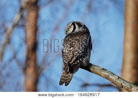 Northern hawk-owl resting on a branch in its habitat