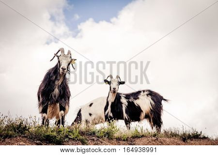 Group of goats looking down from a cliff