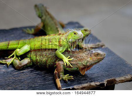 Photos bright green iguana in the park