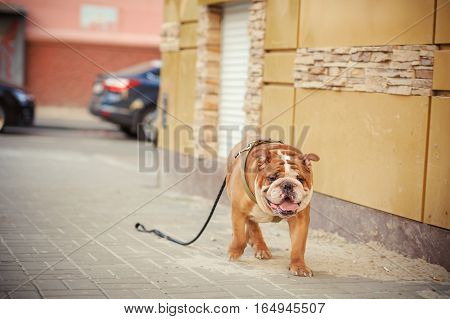 Lost Beautiful Red Dog Goes Through The City