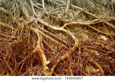 Photos background with tree roots in the Asian island
