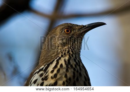 Long-billed Thrasher landed in tree right above my head.
