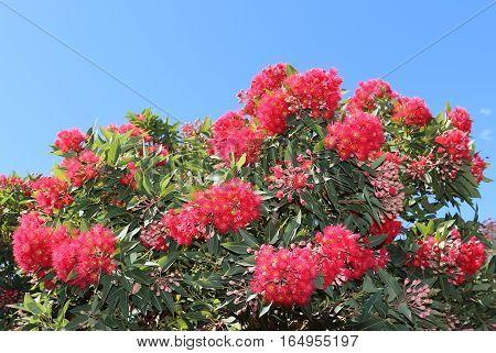 Eucalyptus ptychocarpa (Corymbia ptychocarpa) over blue sky background