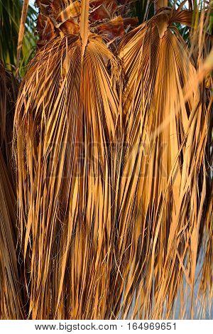 dried leaf , dry yellow leaf , dried yellow background , coconut tree . coconut leaf