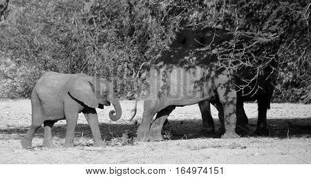 Desert elephants are not a distinct species of elephant but are African bush elephants (Loxodonta africana) that have made their homes in the Namib and Sahara deserts.