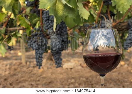A photo of a glass of red wine in a vineyard at harvest time, with hanging branches of grapes