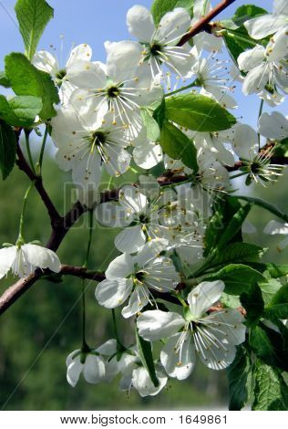 Blühend Cherry tree