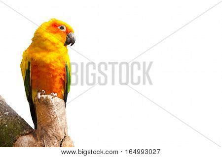 Sun parakeet or sun conure, Aratinga solstitialis yellow, green and blue feathers parrot bird isolated on white background with copy space