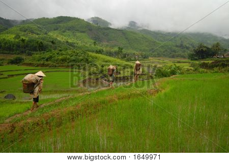 Rice Paddy And Workers Vietnam