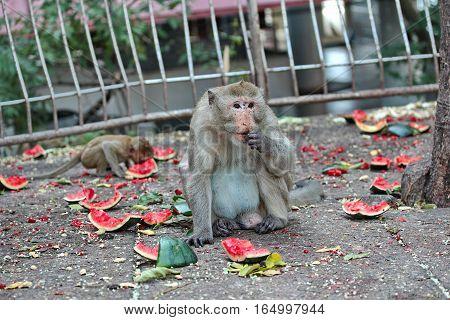 Monkeys Enjoy To Be Eating Watermelon.