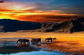 foto of bronco  - Drinking horses - JPG
