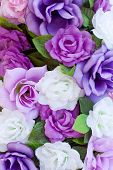 stock photo of purple rose  - blooming roses - JPG