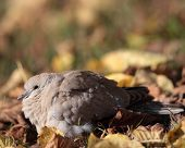 Eurasian Collared Dove also known as turtledove (Streptopelia decaocto) poster