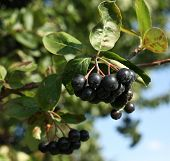 image of aronia  - Black ashberry - JPG