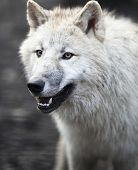 Arctic Wolf (Canis lupus arctos) aka Polar Wolf or White Wolf - Close-up portrait of this beautiful
