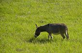 stock photo of jack-ass  - a grey brown donkey or ass grazing on grass in a lush green field - JPG