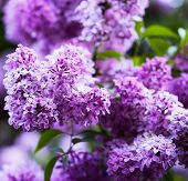 foto of may-flower  - bunch of violet lilac flower - JPG