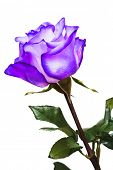 picture of purple rose  - violet rose on white background - JPG