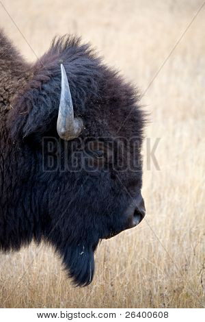 bison headshot in Yellowstone National Park, Wyoming